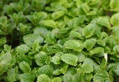 Élevage frais vert de feuilles en bon état Photographie stock