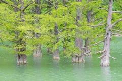 Élevage hors de l'eau des troncs de pin de marais de cyprès Photo stock