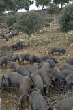 Élevage ibérien de porc. Photos libres de droits
