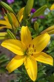 Élevage jaune de lis de fleur Images stock