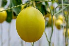 Élevage jaune de melon de cantaloup Photographie stock