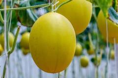 Élevage jaune de melon de cantaloup Image stock
