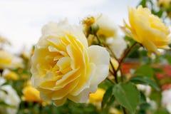 Élevage jaune de rosier Photographie stock libre de droits