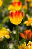 Élevage jaune et rouge de tulipes Photographie stock
