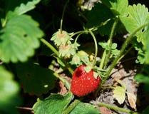 Élevage juteux rouge de fraise Photo libre de droits
