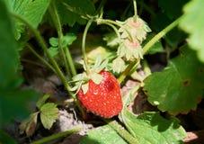 Élevage juteux rouge de fraise Image stock