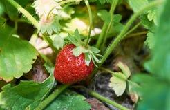 Élevage juteux rouge de fraise Images stock