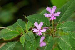 Élevage la fleur d'Impatiens, du baume roses de Kinabalu et endemic à est Photos stock