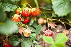 Élevage mûr de fraises Photos stock