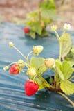 Élevage mûr de fraise Photographie stock