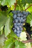 Élevage mûr de raisins Images libres de droits