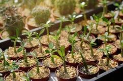 Élevage mis en pot de jeunes plantes Image stock