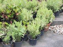Élevage mis en pot de jeunes plantes Photographie stock