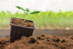 Élevage mis en pot de jeunes plantes Petite usine s'élevant dans le pot d'argile Image stock