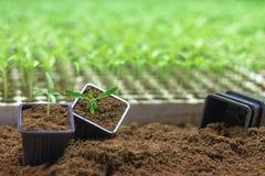 Élevage mis en pot de jeunes plantes Petite usine s'élevant dans le pot d'argile Photos stock