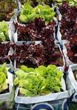 Élevage moderne de salade de nourriture fraîche Images libres de droits