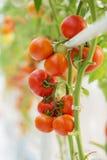 Élevage naturel mûr de tomates Images stock