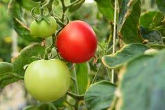Élevage naturel mûr de tomates Image libre de droits