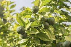 Élevage orange non mûr dans l'arbre Images libres de droits