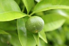 Élevage orange vert de chéri dans l'arbre Photo libre de droits
