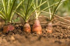 Élevage organique de carottes Photo stock