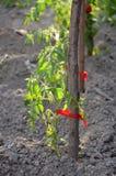 Élevage organique de paprika Photographie stock
