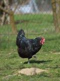 Élevage organique de poulet Images stock