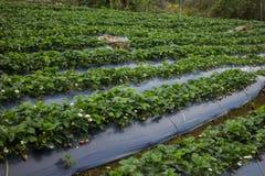 Élevage organique frais de fraises Photo libre de droits