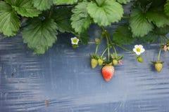 Élevage organique frais de fraises Images stock