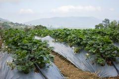 Élevage organique frais de fraises Photographie stock