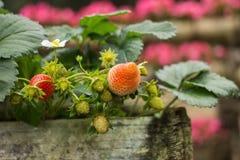 Élevage organique frais de fraises Photos libres de droits