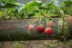 Élevage organique frais de fraises Photo stock