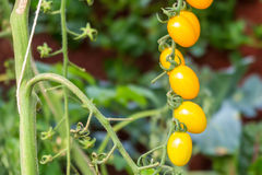 Élevage organique jaune de tomate Photos stock