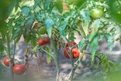 Élevage organique, tomates mûres dans un jardin rural Photographie stock libre de droits