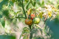 Élevage organique, tomates mûres dans un jardin rural Images stock
