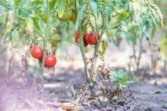 Élevage organique, tomates mûres dans un jardin rural Photos stock