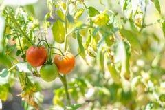 Élevage organique, tomates mûres dans un jardin rural Image stock