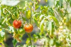 Élevage organique, tomates mûres dans un jardin rural Photo libre de droits