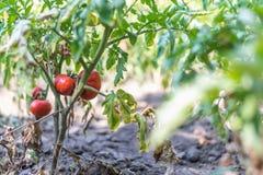 Élevage organique, tomates mûres dans un jardin rural Photographie stock