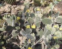 Élevage parmi les cactus de roches Image stock
