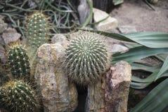 Élevage parmi les cactus de roches Photos stock