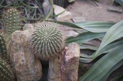 Élevage parmi les cactus de roches Photographie stock