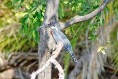 Élevage pie de martin-pêcheur la rivière de Chobe Photos stock