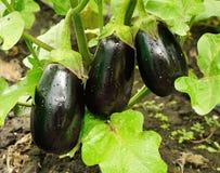 Élevage pourpre de trois grand aubergines Image libre de droits