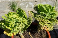 Élevage principal organique de salade verte dans le jardin urbain Photographie stock libre de droits