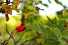 Élevage rose d'arbre de chien rouge d'automne Image stock