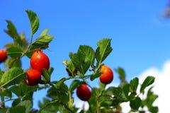 Élevage rose d'arbre de chien rouge d'automne Photo libre de droits