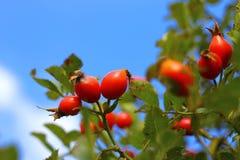 Élevage rose d'arbre de chien rouge d'automne Photos libres de droits