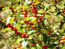Élevage rouge de cerisiers Image stock