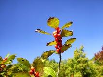 Élevage rouge de cerisiers Images stock